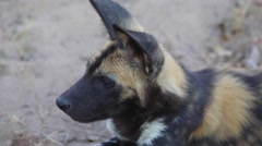 Closeup of African wild dog pup - stock footage