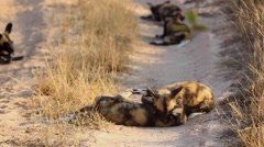 African wild dogs - pups at play Stock Footage