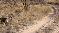 Two wild dogs head into the bush Stock Footage