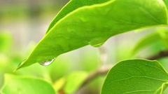 Macro leaf and raindrop - stock footage