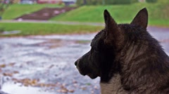 Dog waits the end of rain Stock Footage