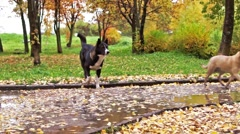 Laika dog in autumn Stock Footage
