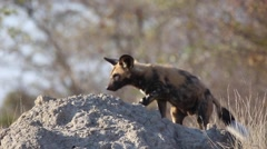 African wild dogs - Pup sits on termite mound (1 of 2) - stock footage