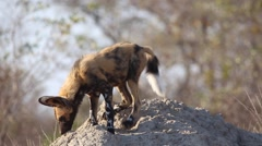 African wild dogs - Pup sits on termite mound (2 of 2) Stock Footage