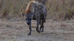 Hyena with a full belly (1 of 2) - stock footage