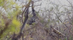 Female leopard in a thicket Stock Footage