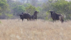 Wildebeest grazing (1 of 4) - stock footage
