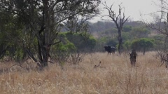 Wildebeest grazing (3 of 4) Stock Footage