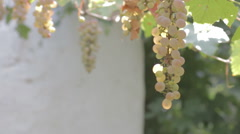 Grapes growing on the vine Stock Footage