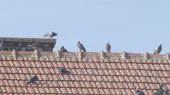 Pigeons 4K (flock) Stock Footage