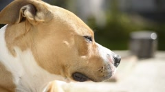 A staffordshire terrier relaxing on the sun Stock Footage