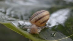 A snail on wet leaf ,macro ,closeup Stock Footage