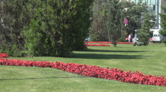 Park background, beautiful red flowers and fir trees, cars driving on near road - stock footage