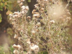 Goldfinches on thistle Stock Footage