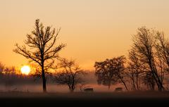 Stock Photo of sunset over cows in a foggy field