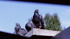 Sneak peek pigeons on the rooftop Stock Footage
