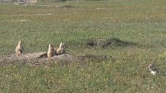 P03919 Black-tailed Prairie Dog Town or Colony in Great Plains Stock Footage