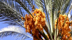 Stock Video Footage of Date palm with gold yellow ripen fruits 5