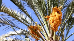 Stock Video Footage of Date palm with gold yellow ripen fruits 15