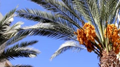 Stock Video Footage of Date palm with gold yellow ripen fruits 10