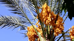 Stock Video Footage of Date palm with gold yellow ripen fruits 1