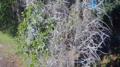 Spanish Moss displays southern charm by hanging off a tree in South Carolina (5 - stock footage