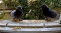 Pigeons eat corn on the windowsill. Footage