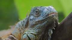 Iguana exotic pet animal close up view Stock Footage