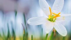 White crocus close up dolly shot Stock Footage