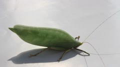 Macro of green grasshopper on the white Stock Footage