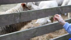 Girl's hand feeding sheep in the pasture through wooden fence Stock Footage