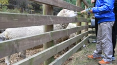 Boy in blue jacket feeding sheep through wooden fence Stock Footage