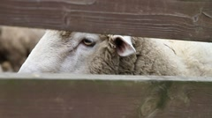 Close up shot of eye of sheep behind wooden fence in the pasture Stock Footage