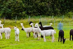 Llamas on farm in norway Stock Photos