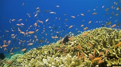 Colorful coral reef with anthias Stock Footage