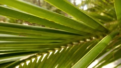 Palm Leaves of Coconut Palm Tree. Slow Motion. Stock Footage