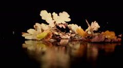 Autumn branch of an oak with foliage on  dark background Stock Footage