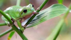 Australian Green Tree Frog Stock Footage