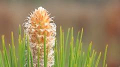 springtime longleaf pine bud - stock footage