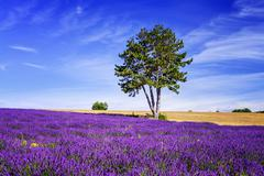lavender in south of france - stock photo