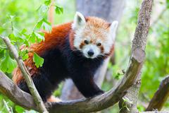 Red panda lies on a tree branch Stock Photos