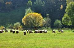 flock of merino sheep pasture at autumn - stock photo