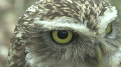 Owl close-up Stock Footage