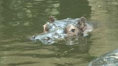 Stock Video Footage of Hippopotamus