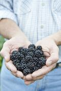 Close up of man holding freshly picked blackberries Stock Photos