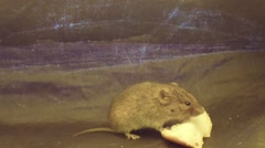 Mouse eating a slice of bread in the bottom of the tourist tent Stock Footage