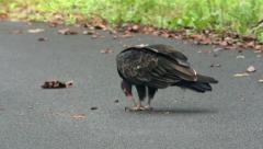 Turkey vulture eating meat with talons Stock Footage