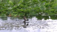 Anhinga Catches a Fish Stock Footage
