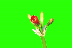 Stock Video Footage of 4K. Growth of Clivia flower buds green screen, Ultra HD.