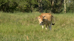 Brown cattle grazing in the field. Stock Footage